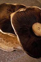 Cómo cultivar tus propios hongos Portobella