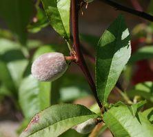 Enfermedades de los árboles de durazno cuando las hojas Curl
