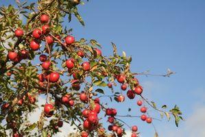 ¿Cuánto tiempo se tarda un manzano de dar fruto?