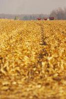 Ciclo de vida de la planta de maíz del maíz