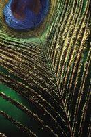 Cómo mantener plumas del pavo real