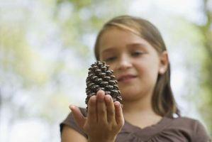 Las diferentes especies de pino Conos