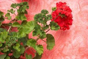 Los mejores Geranios anuales para un jardín