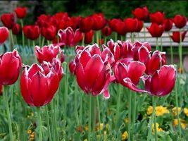 ¿Qué hacer con los tulipanes Después de que florezcan