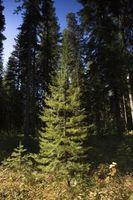 El mejor momento para podar un pino