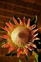 Tipos Protea