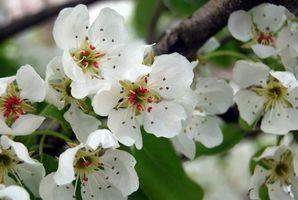 Cuál es el significado de la flor de la pera?