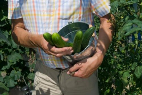 Cómo crear Fertilizante para Pepinos