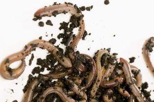 Cómo utilizar una granja de gusanos