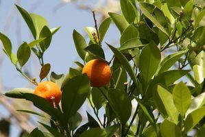 ¿Qué altura Cómo crece un árbol de naranja enana?