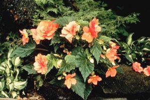 Cómo tratar el oidio en Begonias