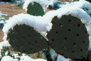 Dañado ahorro de Freeze-Cactus