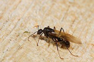 ¿Cómo deshacerse de las hormigas carpinteras