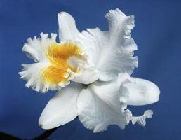Acerca de las orquídeas Cattleyas