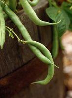 Lo que se puede plantar Con Pole Beans?