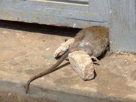 Cómo controlar los roedores Naturalmente