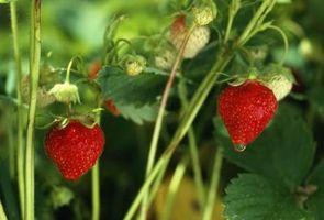 Cómo volver a plantar las plantas de fresa