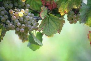 Cómo detener la aparición de moho en las uvas