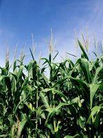 Soja y maíz rotación de cultivos