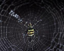 ¿Qué tipo de araña tiene un sitio Web que está construido como una plataforma y está en la cima de su web?