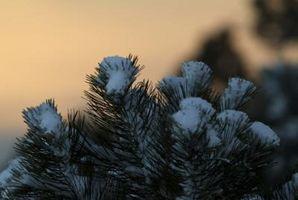 Sobre el Blue Spruce Tree