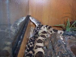 ¿Cómo deshacerse de las serpientes de pollo