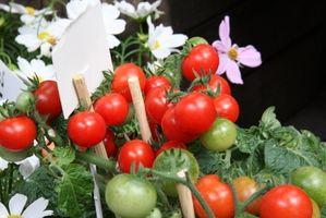 Plantas de tomate y azufre