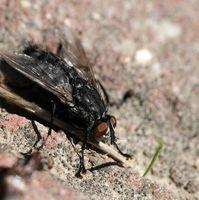 Repelente de mosca casera