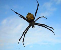 Las arañas pueden dañar hoja perenne arbustos?