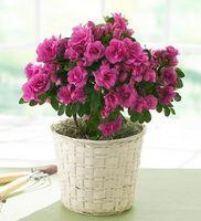 ¿Cómo hacer crecer plantas de la azalea