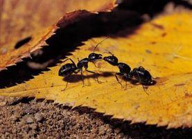 ¿Por qué son hormigas muertas que caen de un techo de cedro?