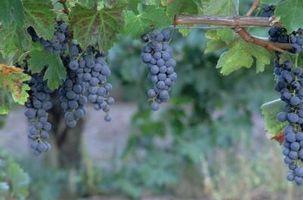 Hacer las vides de uva tiene que ser injertado?