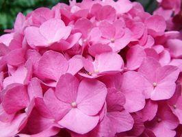 Cómo cultivar hortensias interior