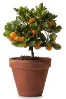 Los árboles de cítricos ornamentales