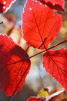 Cómo identificar un árbol con hojas rojas en el Sur