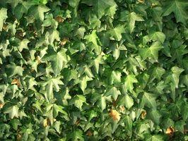 Información acerca de la planta de hiedra Hedera Helix