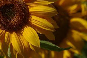 Información acerca de la planta de girasol Belleza del otoño