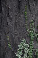 Inglés Ivy trepar a los árboles