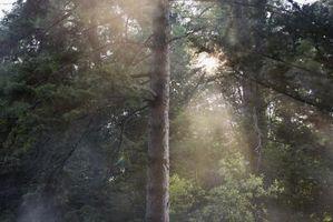 El tratamiento de la roya en la corteza de árbol