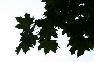 Las hojas negras en un Glory octubre de arce