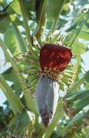 Cuando a las flores cortadas de la banana plantas?