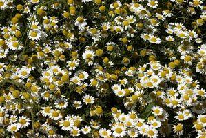Moonflower vides y gusanos picudos
