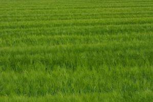 ¿Qué semillas de pasto es hacer crecer la hierba verde oscuro?