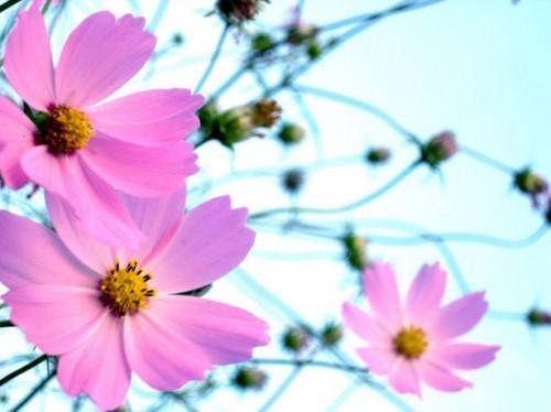 Cómo recoger semillas de Cosmo de su jardín