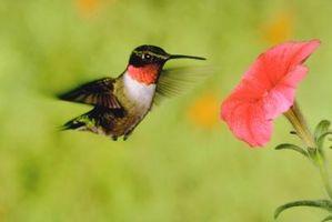 ¿Los Otros Aves beber de Hummingbird Feeders