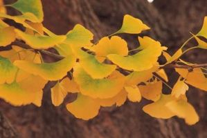 Cómo cuidar a un árbol Gingko Biloba