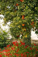 El mejor momento para plantar árboles de cítricos