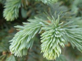 Los árboles ornamentales que son a los ciervos resistente