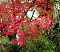 ¿Por qué mi árbol de arce japonés parcialmente Die?