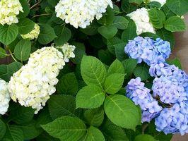 Que Solucion Para Cambiar El Color De Las Hortensias Digfineartcom - Color-de-las-hortensias